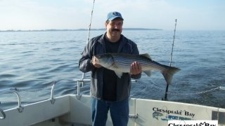 Chesapeake Bay Nice Rockfish 2 #17