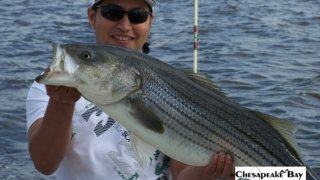 Chesapeake Bay Trophy Rockfish 3 #31