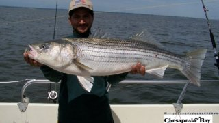 Chesapeake Bay Trophy Rockfish 2 #20