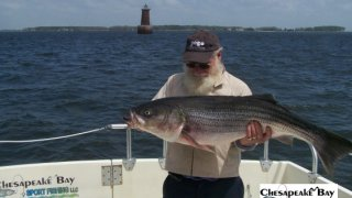 Chesapeake Bay Trophy Rockfish #16