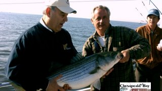 Chesapeake Bay Trophy Rockfish 2 #28