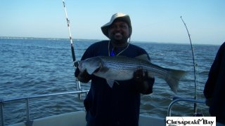 Chesapeake Bay Nice Rockfish #17