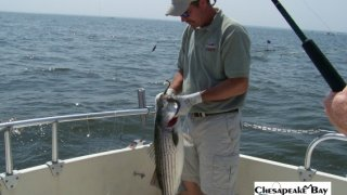 Chesapeake Bay Nice Rockfish #14