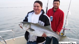Chesapeake Bay Trophy Rockfish #24