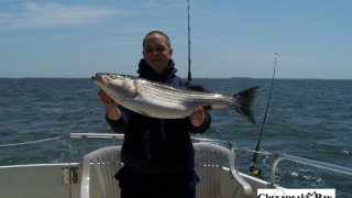Chesapeake Bay Nice Rockfish #35