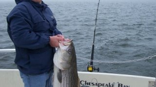 Chesapeake Bay Nice Rockfish #13