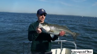 Chesapeake Bay Nice Rockfish 3 #15