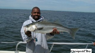 Chesapeake Bay Nice Rockfish #26