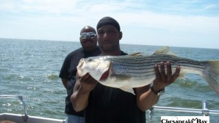 Chesapeake Bay Nice Rockfish #19