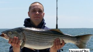 Chesapeake Bay Nice Rockfish 2 #42