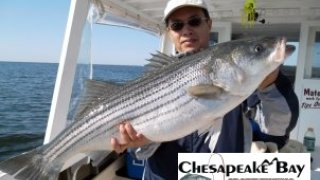 Chesapeake Bay Trophy Rockfish #3