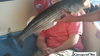 Chesapeake Bay Nice Rockfish 3 #13