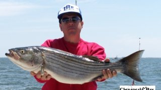Chesapeake Bay Nice Rockfish #36