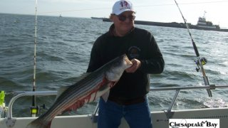 Chesapeake Bay Nice Rockfish #4