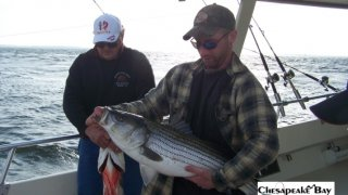 Chesapeake Bay Nice Rockfish #5