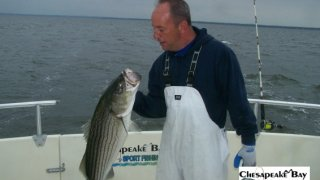 Chesapeake Bay Nice Rockfish 2 #34