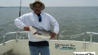 Chesapeake Bay Nice Rockfish #16