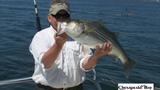 Chesapeake Bay Nice Rockfish 3 #17